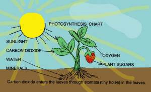 photosynthesis-color